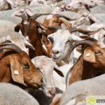 2017-05-15-Wanderschäfer-–-47-150x150 Mehr als 500 Schafe und Ziegen ziehen quer durch Augsburg Augsburg Stadt Bildergalerien News Augsburg Kuhsee Lechtal-Lamm Schafe Wertach Ziegen |Presse Augsburg