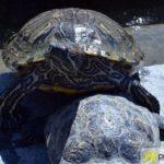 20160908_zoo-ulm_22-schildkröte-150x150 Ferientipp   Ein schöner Familienausflug in den Tiergarten Ulm Bildergalerien Freizeit Neu-Ulm News Friedrichsau Tierpark Ulm Zoo Ulm  Presse Augsburg