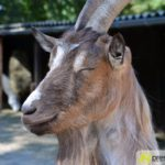 20160908_zoo-ulm_24_ziege_geisbock-150x150 Ferientipp   Ein schöner Familienausflug in den Tiergarten Ulm Bildergalerien Freizeit Neu-Ulm News Friedrichsau Tierpark Ulm Zoo Ulm  Presse Augsburg