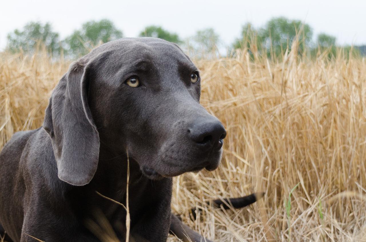 Weimaraner__1503055304 Hochzoll | Nähe Kuhsee: Hund erleidet Vergiftung durch Giftköder Augsburg Stadt News Polizei & Co |Presse Augsburg