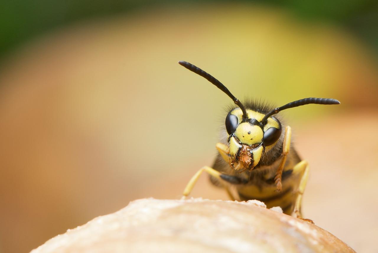 Gefahren durch Wespen- und Bienenstiche nicht unterschätzen
