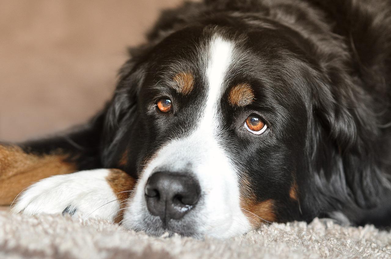 Berner_Sennenhund_1507446221 Tierfreunde aufgepasst! - Mit Nägeln versehene Tierköder in Immenstadt festgestellt News Oberallgäu Polizei & Co Hund Immenstadt Köder |Presse Augsburg