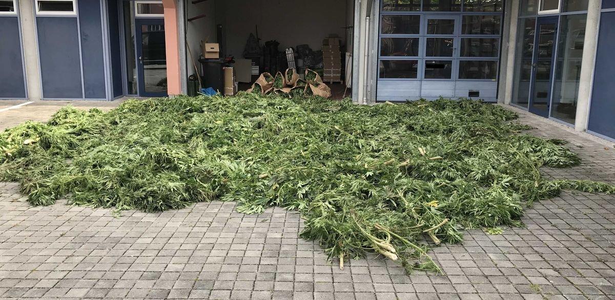 abgeerntete-cannabispflanzen Eine besondere Ernte - Cannabisanpflanzung in Maisfeld bei Altomünster entdeckt Aichach Friedberg Überregionale Schlagzeilen Vermischtes Altomünster Cannabis Polizei Schmelchen |Presse Augsburg