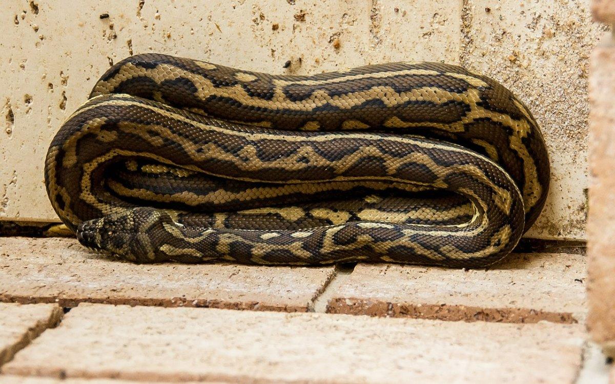 Carpet Python 432747 1280