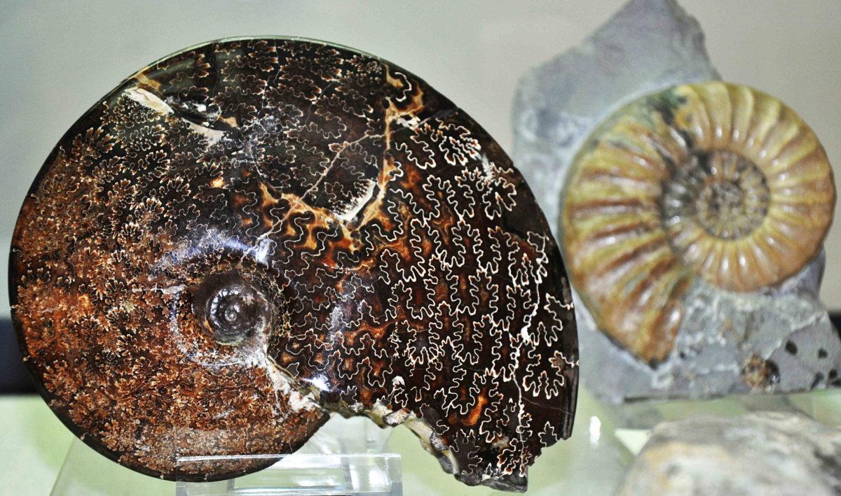 18_04_26_2_Fossiler-Ammonit_Kreide_USA__©-NMA_Foto-Hagens Neues aus der Schatztruhe des Augsburger Naturmuseums Augsburg Stadt Freizeit News Fossilien Naturmuseum Augsburg |Presse Augsburg