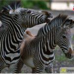 zoo-führung-englisch-150x150 Heute |Presse Augsburg