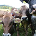 IMG_9348-150x150 Bildergalerie   Der Sommer geht zu Ende - Viehscheid in Balderschwang Bildergalerien Freizeit News Newsletter Oberallgäu Balderschwang Viehscheid  Presse Augsburg