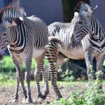 zoo_056-150x150 Bildergalerie  Goldener Herbstsonntag im Augsburger Zoo Bildergalerien Freizeit News Newsletter Zoo Augsburg Augsburger Zoo  Presse Augsburg