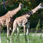 zoo_057-150x150 Bildergalerie  Goldener Herbstsonntag im Augsburger Zoo Bildergalerien Freizeit News Newsletter Zoo Augsburg Augsburger Zoo  Presse Augsburg