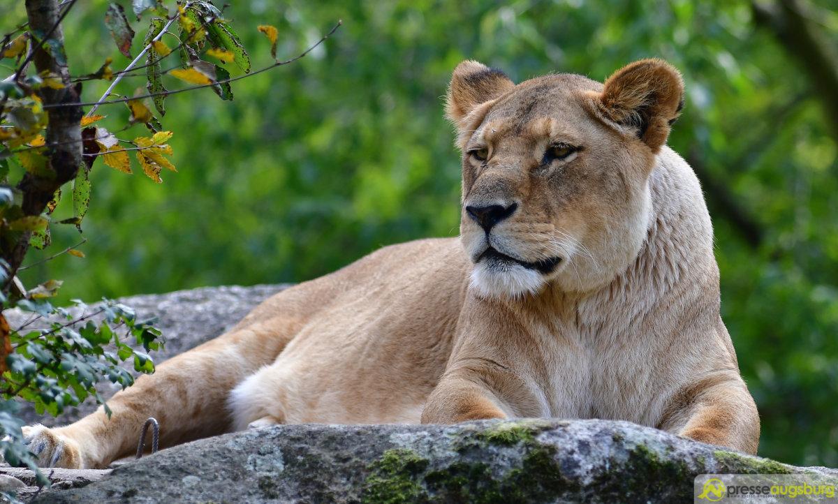 zoo_073 Zoo Augsburg | Löwin Tara ist tot Augsburg Stadt News Newsletter Zoo Augsburg |Presse Augsburg