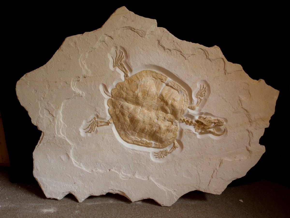 Killerschildkröte Credit Dinosaurier Museum Altmühltal