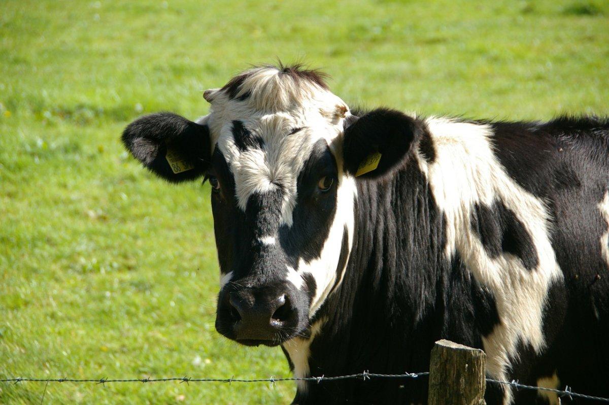 Cow 234835 1280