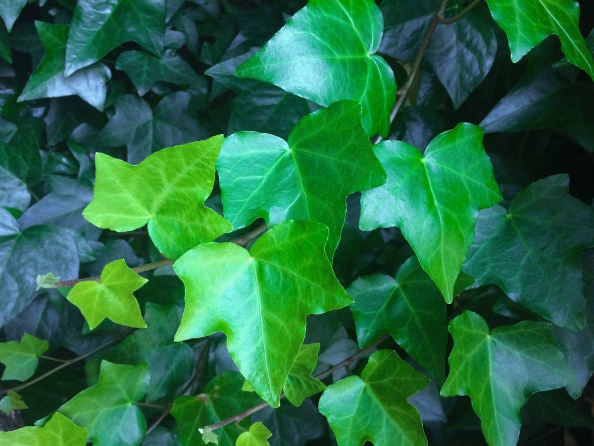 Ivy 1409871 1280