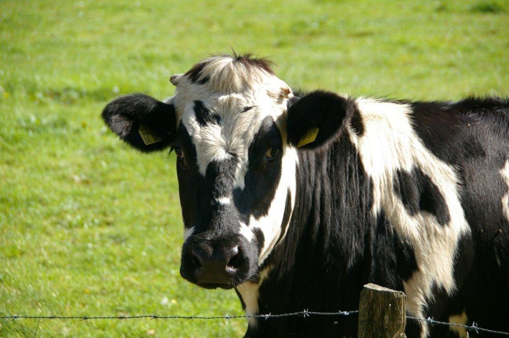 cow-234835_1920 Unterallgäu | Wer vermisst seine Kuh? - Besitzer gesucht News Unterallgäu Kuh Tussenhausen |Presse Augsburg