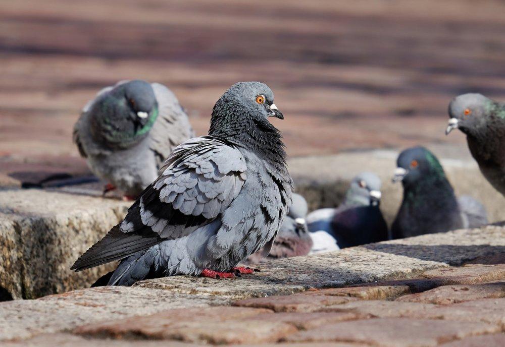 Pigeons 3268990 1280