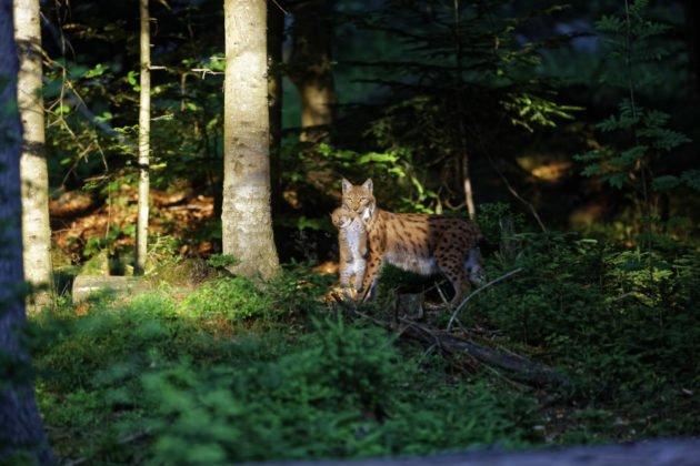 19 09 11 2 Luchs Im Bayerischen Wald