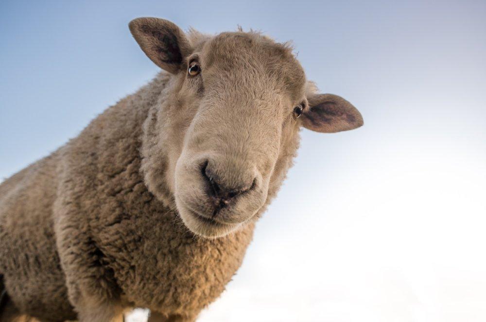 Sheep 1822137 1280