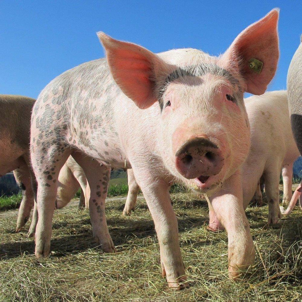 pig-214349_1280 Rain | Schweine auf dem Sonntagsspaziergang Donau-Ries News Polizei & Co Bayerdilling Rain Schweine |Presse Augsburg