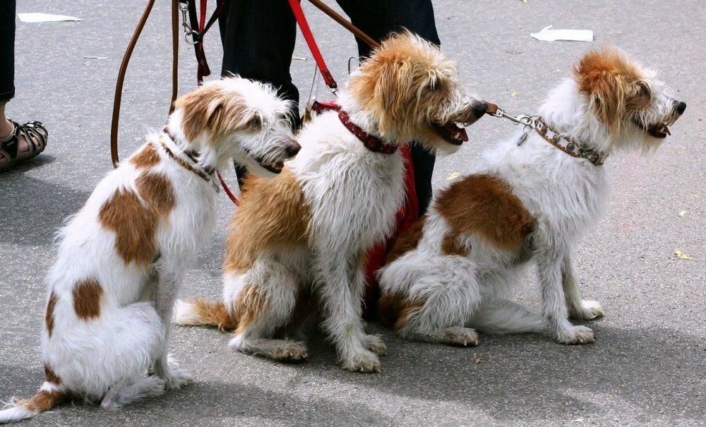 dogs-91689_1280 Nördlingen | Drei Hunde reißen sich los und greifen Walker an Donau-Ries News Polizei & Co |Presse Augsburg