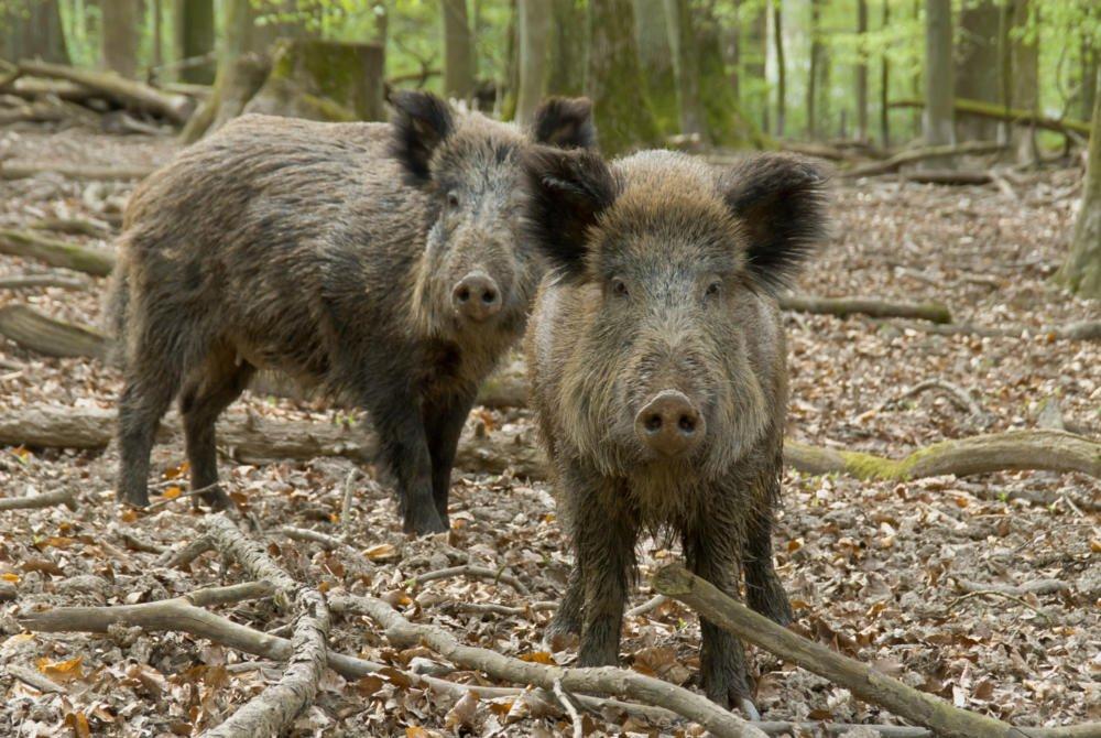 Wildschweine Fotolia 28722729 Janufoto