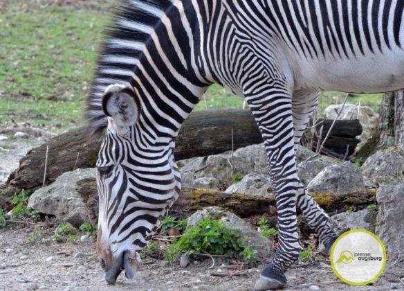 20200314_zoo-57-584x420 Bildergalerie | Frühling im Zoo Augsburg Augsburg Stadt Bildergalerien Freizeit News Newsletter Zoo Augsburg Zoo Augsburg |Presse Augsburg