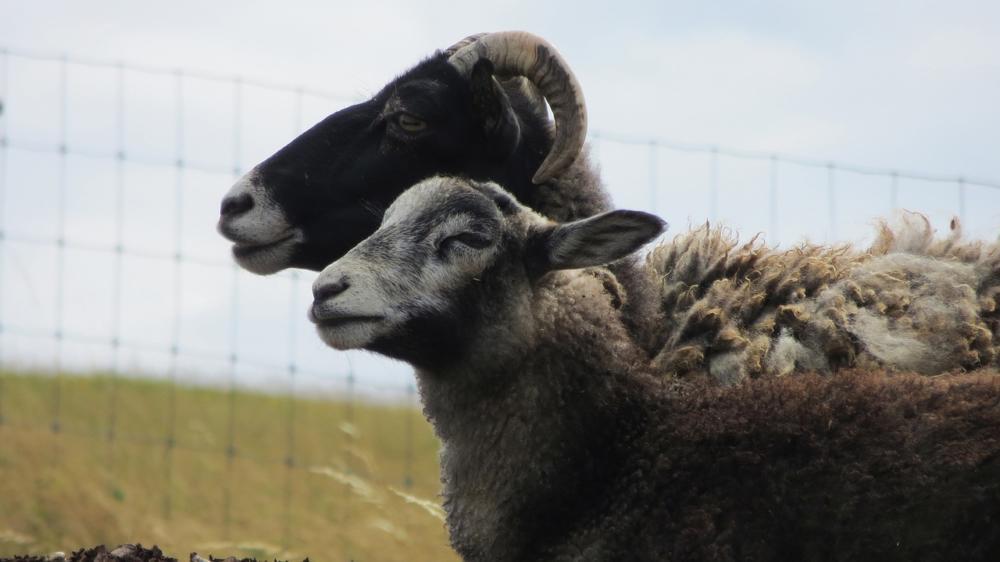 goats-1560296_1280 Aichach | Dreister Dieb stiehlt ausgewachsenen Hammel von Freifläche Aichach Friedberg News Polizei & Co Aichach Dieb Hammel Schafe |Presse Augsburg
