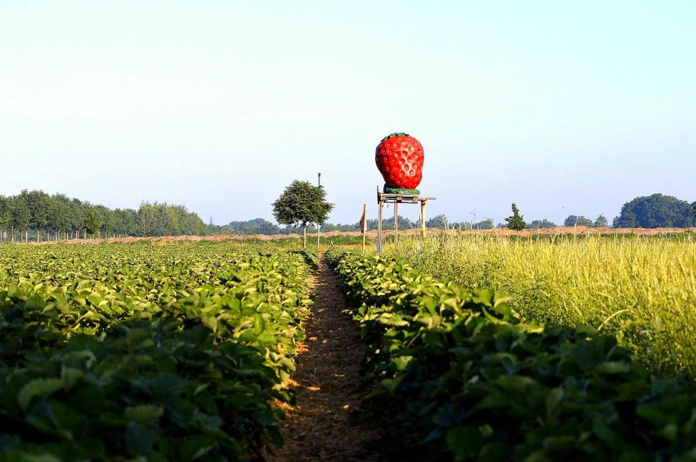 Strawberry Field 2432623 1280