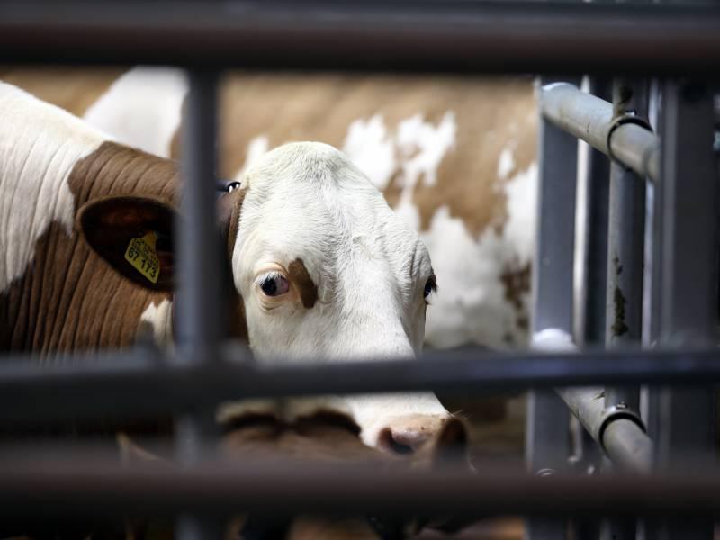 Bauernverband Gegen Verbot Von Werkvertraegen In Schlachthoefen