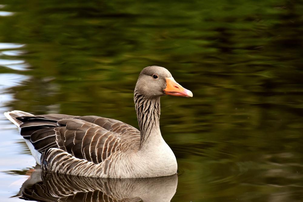 Goose 3477674 1920
