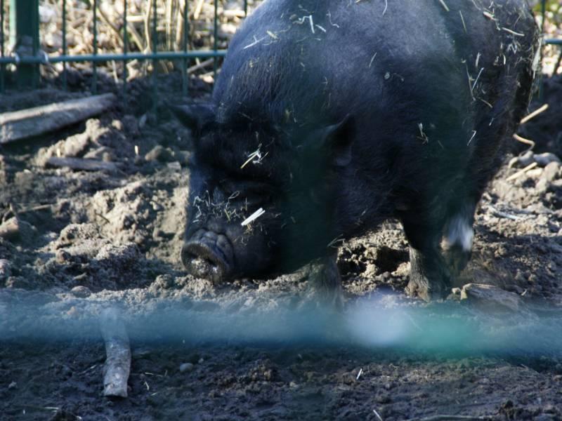 Lbv Brandenburg Derzeit Keine Gefahr Fuer Hausschweine