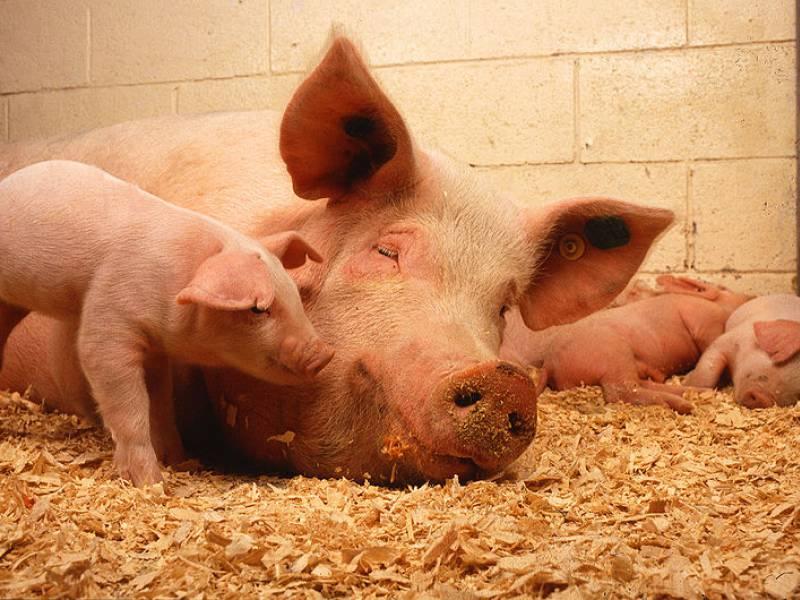 Bundesweit Noch 750 000 Tiere Im Schweinestau