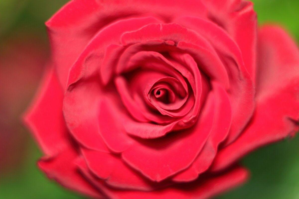 Rose 3161603 1280 Scaled