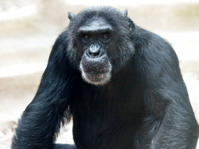 Tierschutzbund Chef Gegen Wiederaufbau Von Krefelder Affenhaus