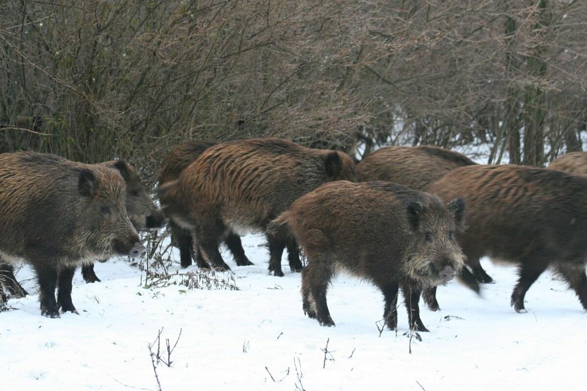Wild Boar 5781156 1280 2
