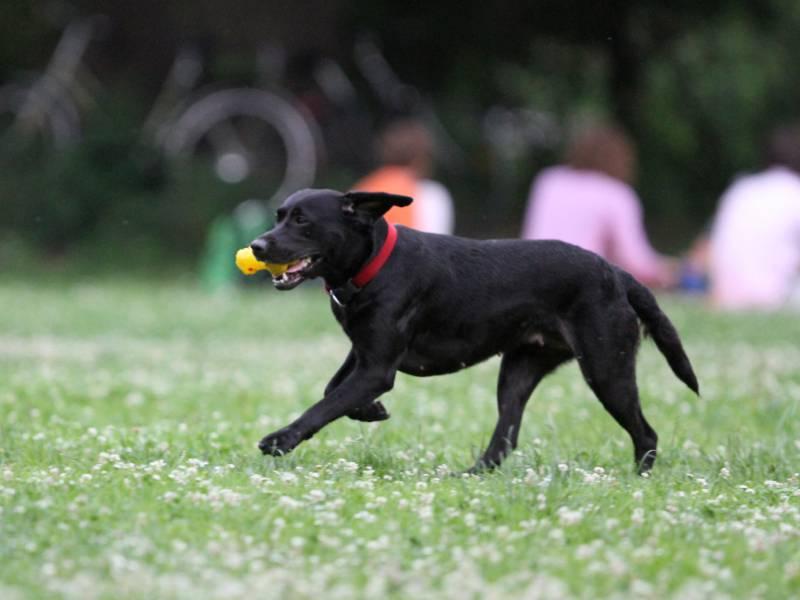 Mischling Bulldogge Und Labrador Bleiben Beliebteste Hunde