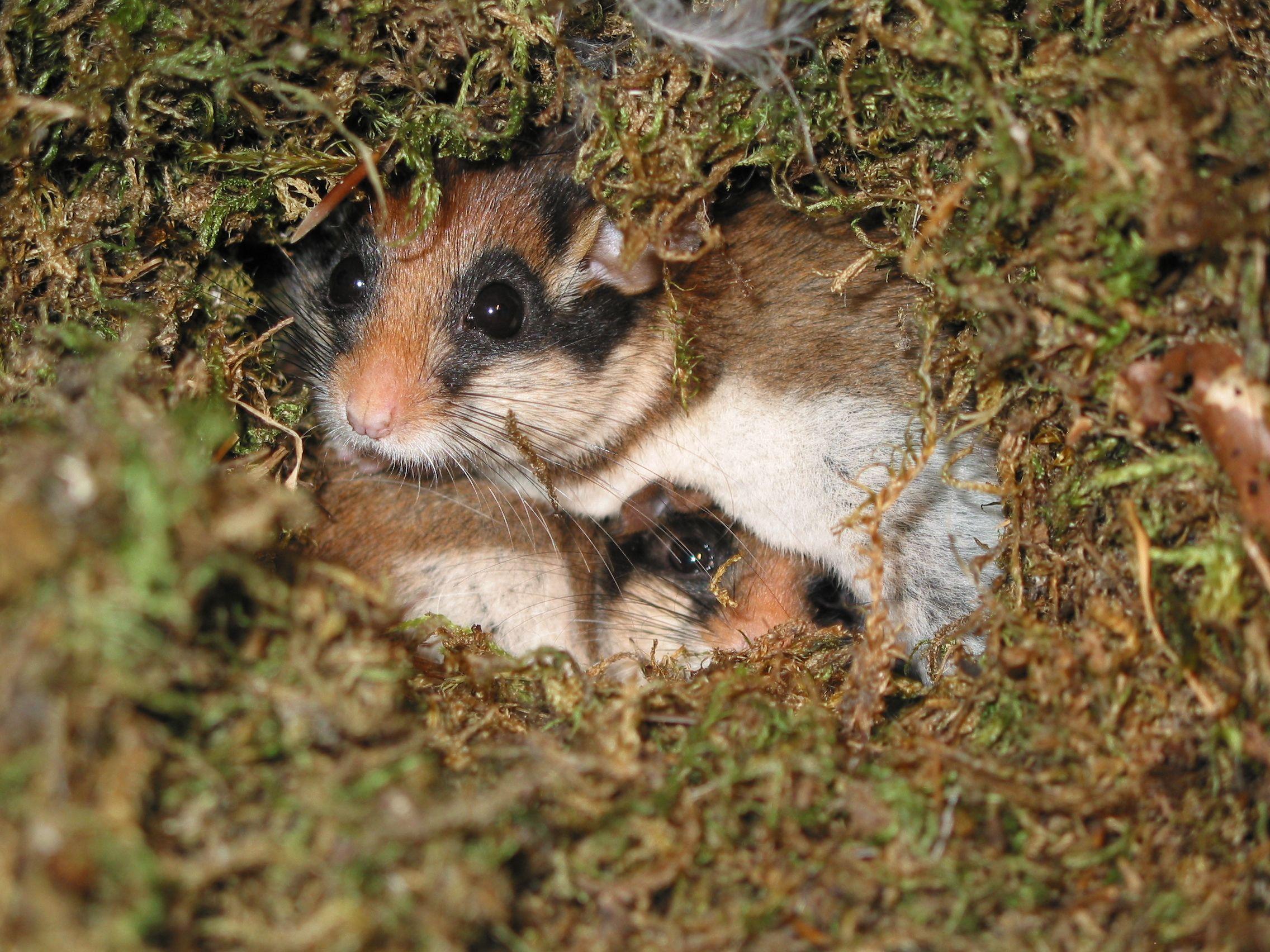 Gartenschlaefer Im Nest C Rudi Leitl