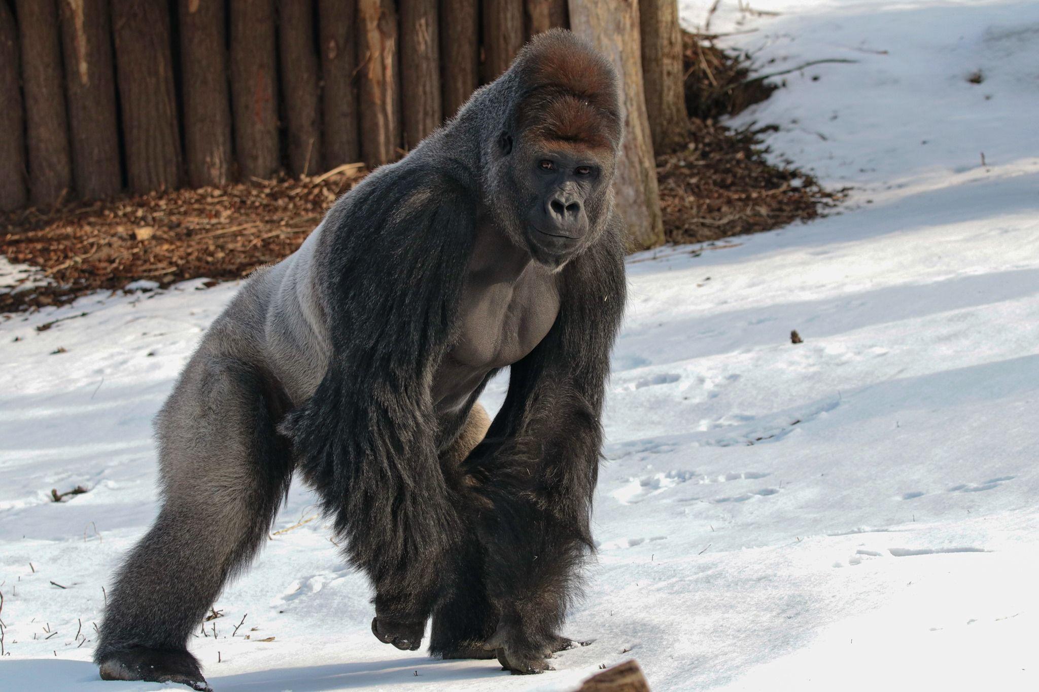 Silberrcken Kidogo Im Krefelder Zoo
