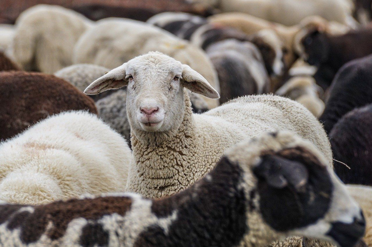 Sheep 4810513 1280
