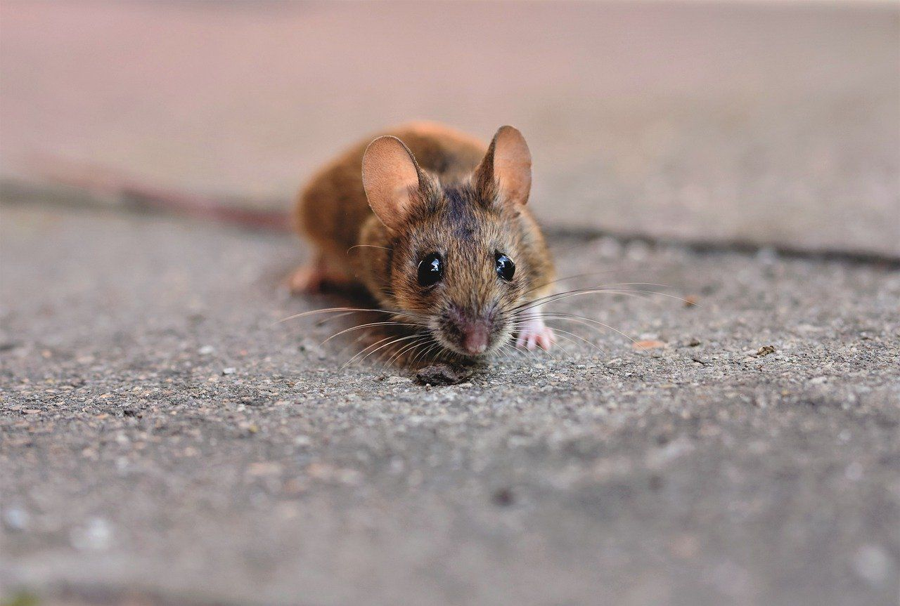House Mouse 5090096 1280