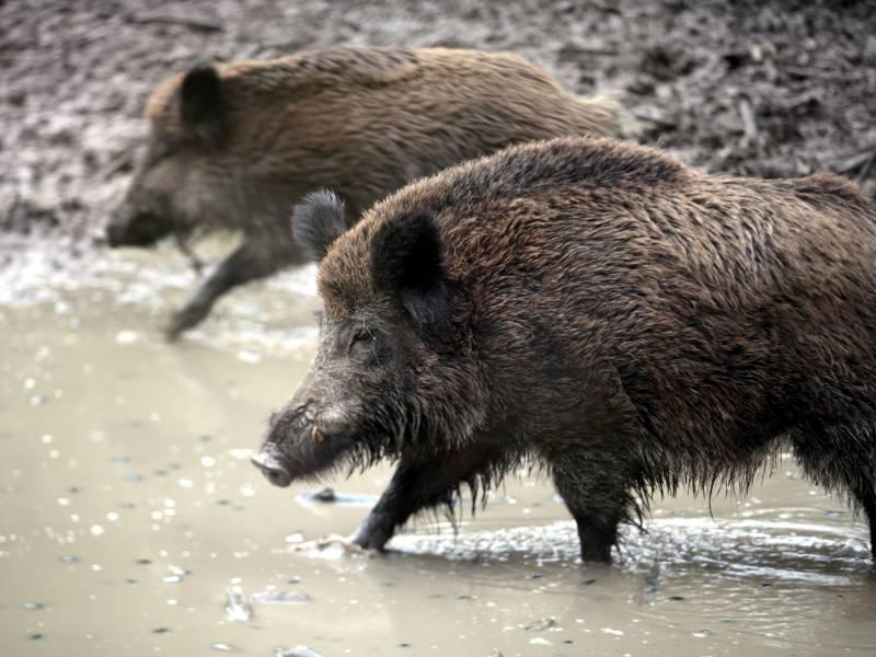 Landwirte Fuerchten Verluste Wegen Schweinepest