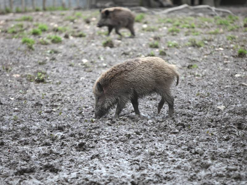 Weitere Schweinepest Faelle In Brandenburg Bestaetigt