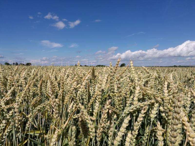 Getreideernte Faellt 2021 Unterdurchschnittlich Aus